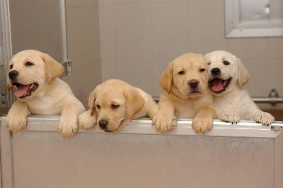 Cuatro cachorros en las instalaciones de la Fundación ONCE del Perro Guía